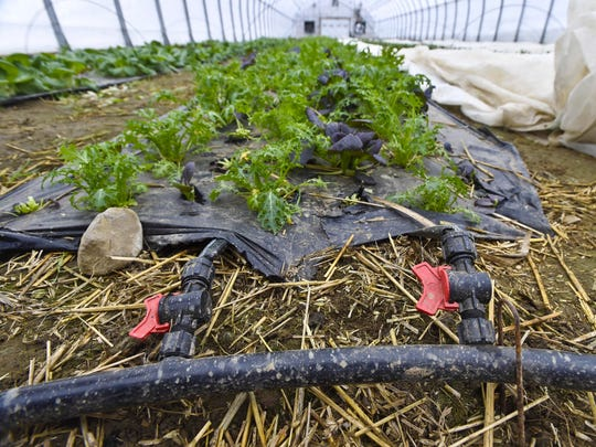 Piping conveys heat beneath a bed of golden frill mustard and red pac choi at Jericho Settlers Farm in early January.