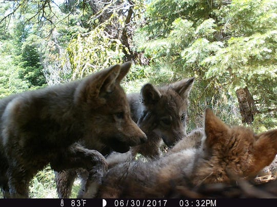 Wolf pups from the Lassen Pack in northern California