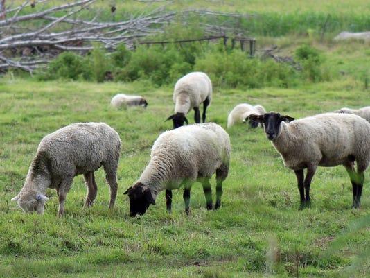 WSF 0818 standalone Colleen sheep