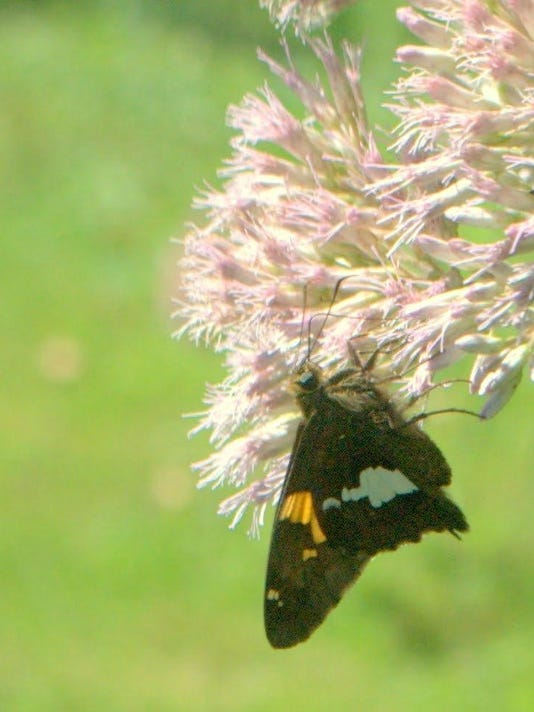 warinanco silver spotted skipper