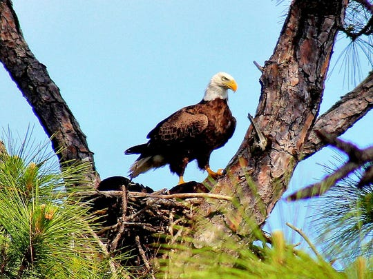Greg R. Williams took this photo of an eagle in Teague Hammock Preserve in St. Lucie County.