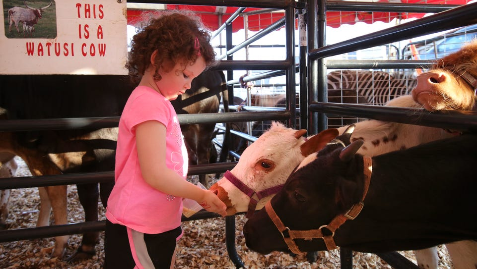 Kassidy Minks, 4, feeds calves during the Oldham County