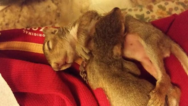 Orphaned squirrels, George and Lola, cuddle while sleeping.