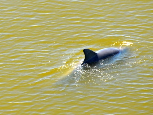 A dolphin swims earlier this past April in water discolored