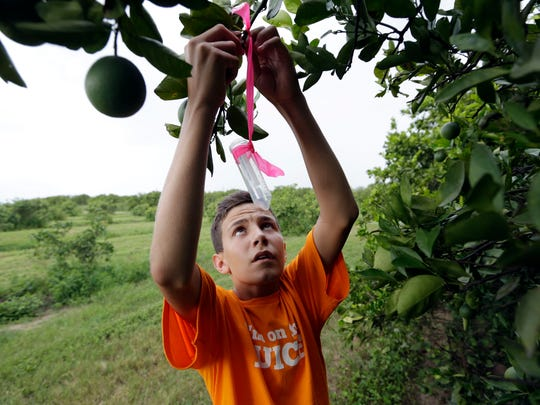 Nick Howell, 13, a member of the McLean family who owns Uncle Matt's organic orange juice company, places a vial containing the tamarixia wasp to release in their orange groves in hopes of combating the citrus greening disease, in Clermont, Fla. Florida's $9 billion citrus industry is facing its biggest threat yet by a tiny invasive bug called the Asian Citrus Psyllid, which carries bacteria that are left behind when the psyllid feeds on a citrus tree's leaves.