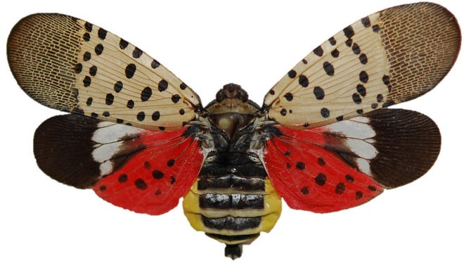 The discovery of the spotted lanternfly in eastern Pennsylvania has prompted a quarantine.