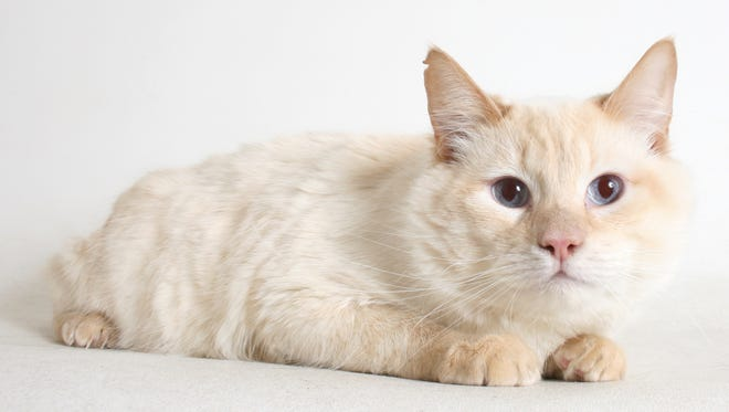 Mozart is a 2-year-old, male, flame-point cream Siamese and domestic medium-hair mix. He's a handsome fellow and he knows it. All feline and canine adoptions include spaying or neutering, vaccinations and a microchip. Visit Haven Humane Society, 7449 Eastside Road, Redding. Call 241-1653. Go to www.havenhumane.net.