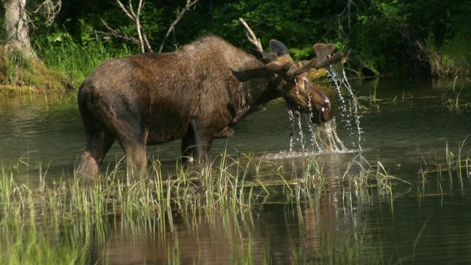 FWP officials are urging Hamilton residents to keep their distance if a moose and its calf make another appearance in town.