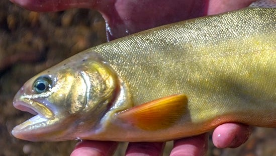 Mineral Creek in the Gila National Forest has been restocked with 1,033 Gila Trout.