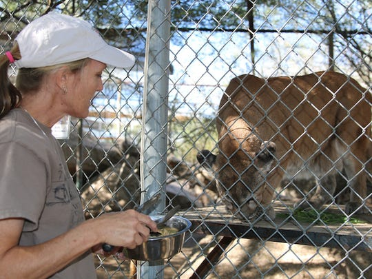 Animal Caretaker Kim Carr feeds Giselle, the second