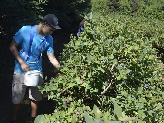 Dyan Joaquin picks blueberries at a Harvesting Hope event at a farm east of Visalia on Saturday.