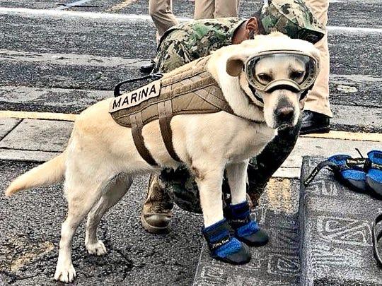 Frida, una perrita labrador de 7 años y que forma parte