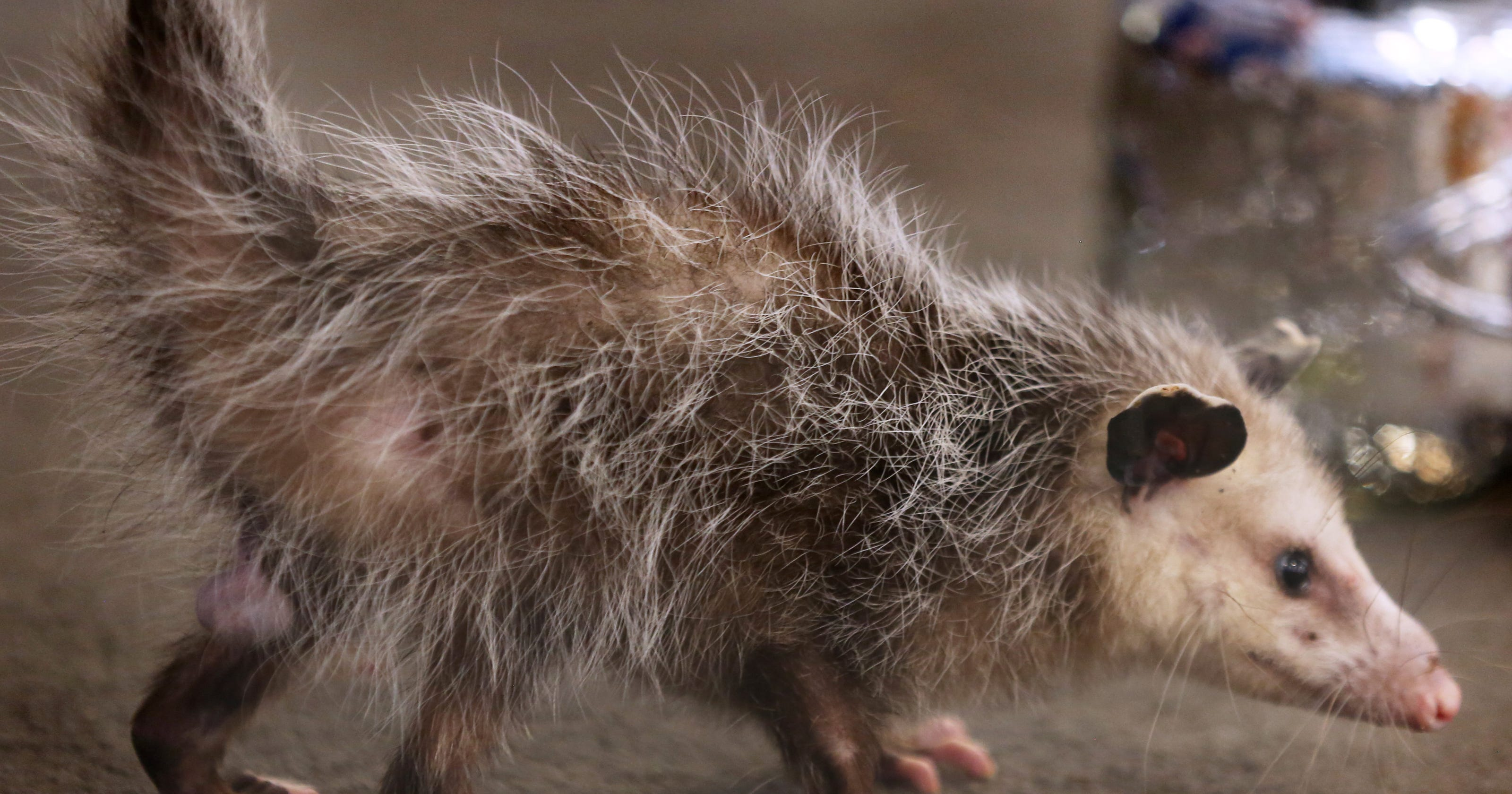 Opossum is nature's 'living fossil'