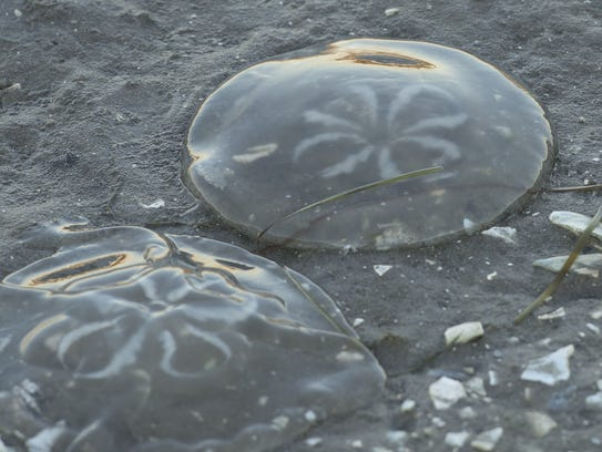 Jellyfish line the shore's edge at low tide. File photo.