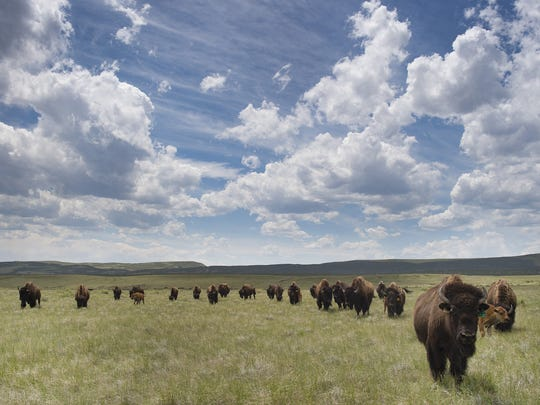 A herd of 33 bison roam Soapstone Prairie Natural Area
