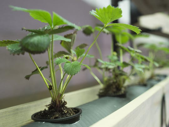 Strawberries grow on a hydroponic wall with fresh herbs