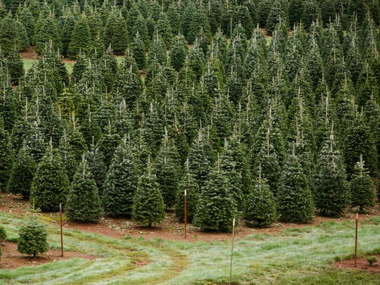 From Salem to Gervais to Sublimity, head to a u-pick tree farm in the Mid-Valley this year.