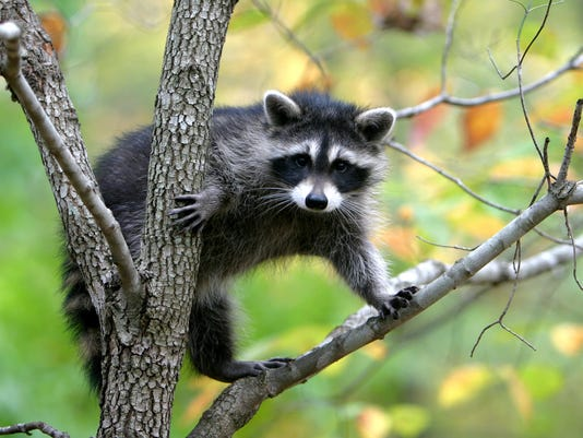 Raccoon standing on a branch in a tree