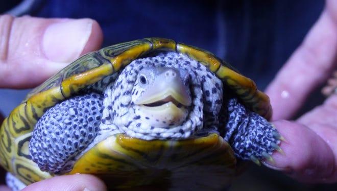 A diamondback terrapin turtle at the Tropicorium in Romulus.