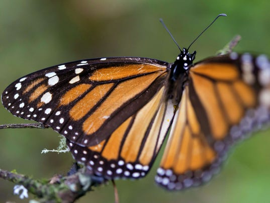 MEXCO-MONARCH-BUTTERFLY