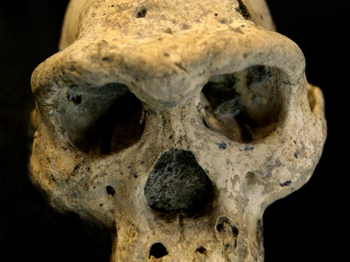 A pre-human skull found in 2005 in the ground at the medieval village Dmanisi, Georgia. The discovery of the 1.8 million-year-old human ancestor captures early human evolution on the move, scientists say.