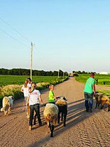 Pratt County 4-Hers Dallie, Kaidee, Cole, and (dad) Roy Winklepleck walk their sheep and dog as part of conditioning needed for the county fair. COVID-19 has changed fair plans, like other events this year.