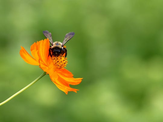 It was a hot, humid morning at the Hugh Cargill Community Garden in Concord, Tuesday, Aug. 4, 2020, but the gardeners were out. The bees were out as well, with this one spending time on a Cosmos flower.