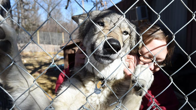 Connie Koskinen hangs with her pet wolf, Lincoln, in his pen.