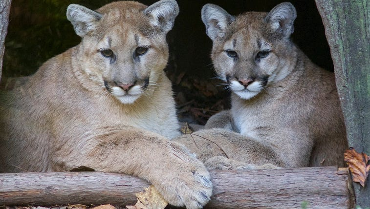 Heath and Olive, two cougars on exhibit at the North