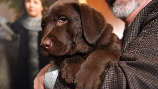 A Labrador Retriever puppy is shown to the press during a news conference February 22, 2016 in New York at the American Kennel Club (AKC).