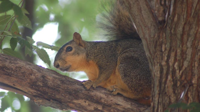 Due in part to lack of hunting pressure, squirrel numbers are high in many areas. Many younger hunters have never hunted squirrels, due in part to the interest in deer and hog hunting the past few decades.