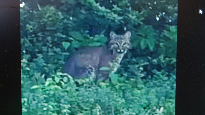 This photo of what appears to be a bobcat seen near Bells Neck was posted on Facebook by a group in Harwich.