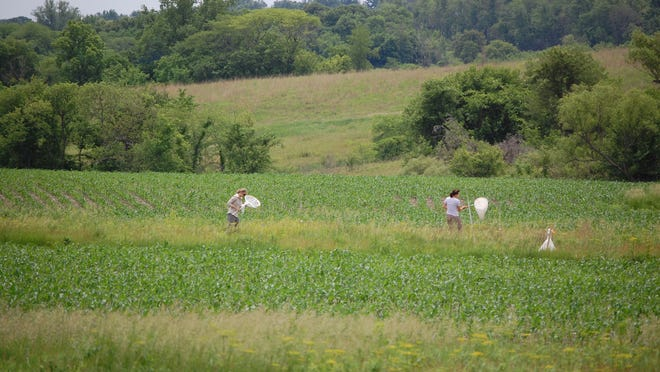 Iowa State University students collect bees in prairie strips near the Neal Smith National Wildlife Refuge. Researchers say the project is improving the habitat for birds, pollinators and animals.