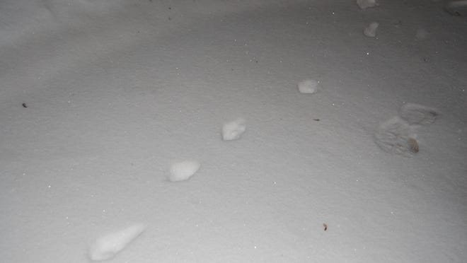 Fresh tracks in the snow tell the story of a red fox.