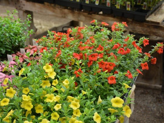 Petunias and papayas, which are miniature petunias, are one of her customers favorite plants, Cravillion says.