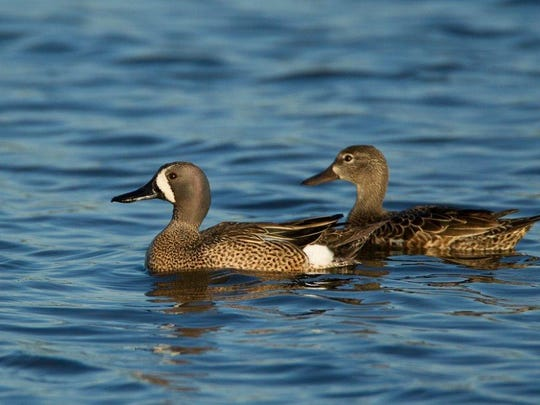 Blue wing teal will be the first ducks to head south next month.
