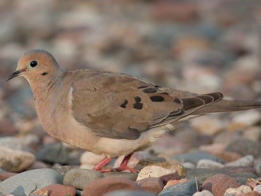 Mourning_Dove_0017