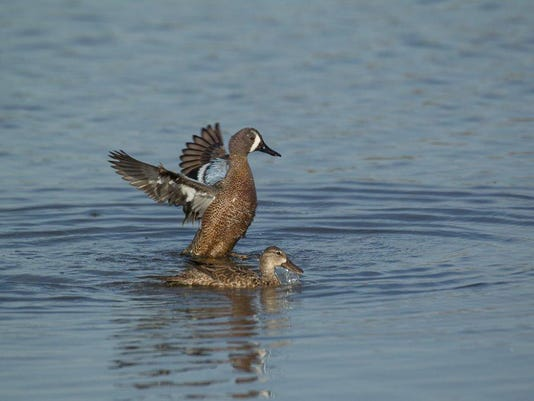 Blue-winged_Teal_0055