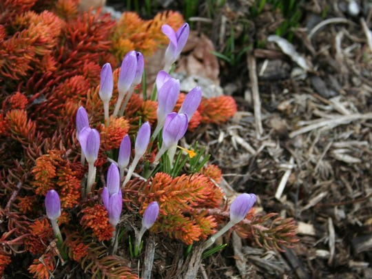 Sedum and crocus begin blooming in early spring. Select plants to bloom for each season