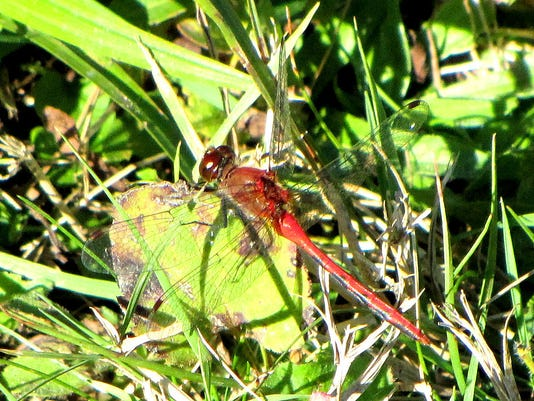 1024px-Cherry-faced_Meadowhawk.jpg