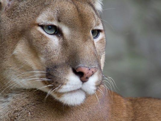 STG mountain lion sightings.jpg