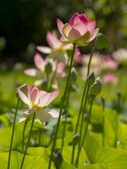 Lotus plants in Nancy Ridenour's Town of Ithaca garden.