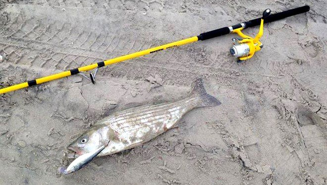 """Ray Tomlin sent this pick of a 26"""" striper he caught at the South End Jetty on a plug. 9/29/15"""