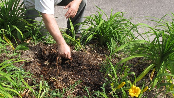 Tom Charpentier pulls a few remaining roots from a hole where a dwarf apple tree once stood in his garden on Oak Street in Burlington. Photographed on Tuesday, June 21, 2016.