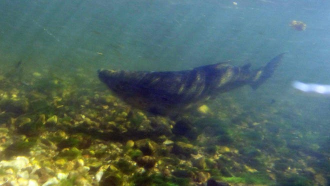 The Department of Natural Resources reintroduced Chinook salmon to the Great Lakes in 1966.