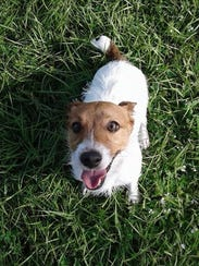 Here's Winnie, a Jack Russell Terrier who stayed at