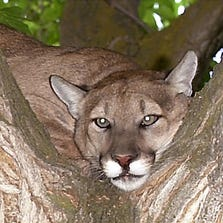 Generic mountain lion photo, not the one Turlock Police are looking for