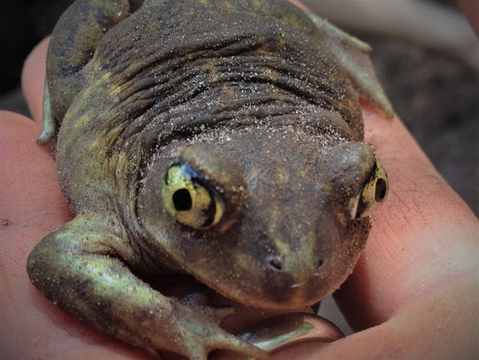 The spade-foot toad, which is on the endangered species