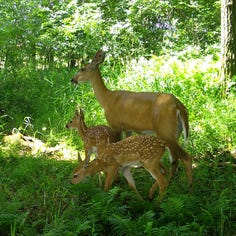 The deer population is overwhelming Lake Country. Here are some ways you can keep them away.