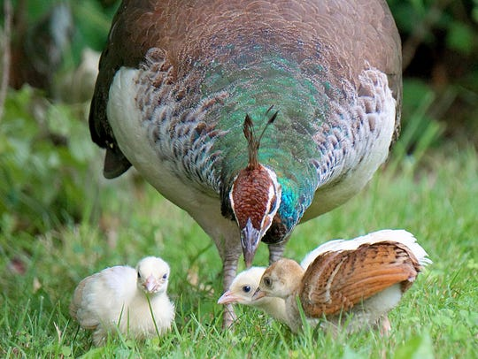 A peahen and her chicks forage on the Kingwood grounds